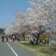 39.羽村水上公園の桜